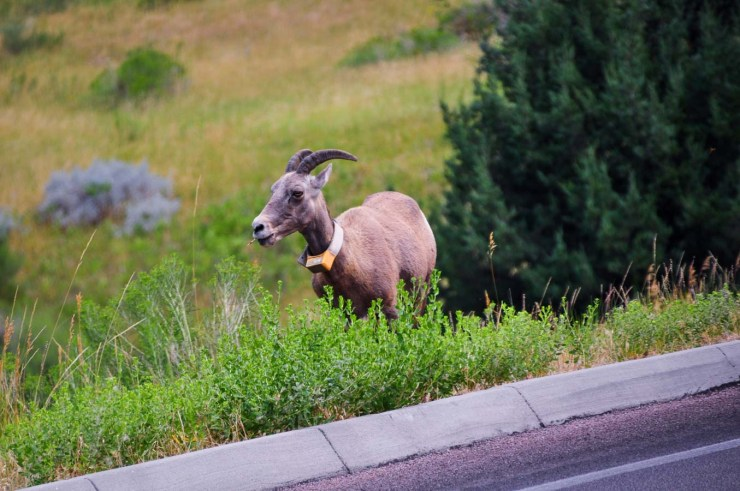 Bighorn SheepWebLG