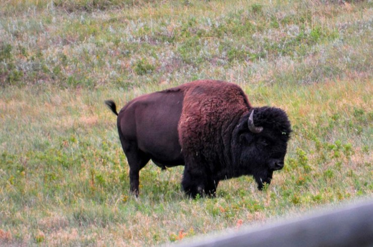 Custer State Park BuffaloWebLG