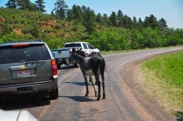 Custer State Park DonkeysWebLG