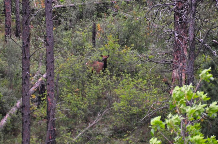 Custer State Park Elk 2WebLG