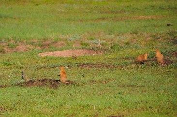 Prairie DogsWebLG