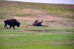 Wind Cave Buffalo 3WebLG