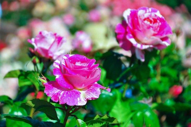 DSC_5853.rosegardenWebLG
