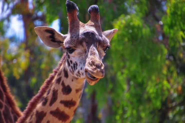 DSC_5869.GiraffeWebLG