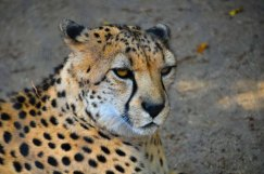 DSC_5875.CheetahWebLG