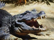 DSC_5939.CrocodileWebLG