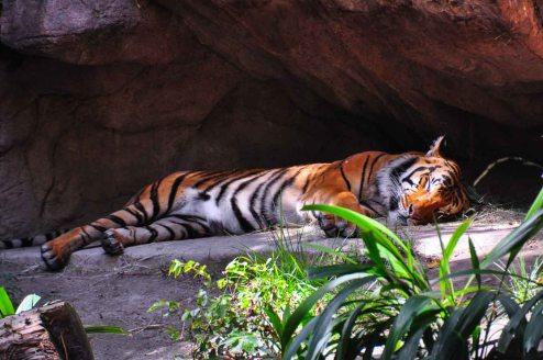 DSC_5942.TigerWebLG