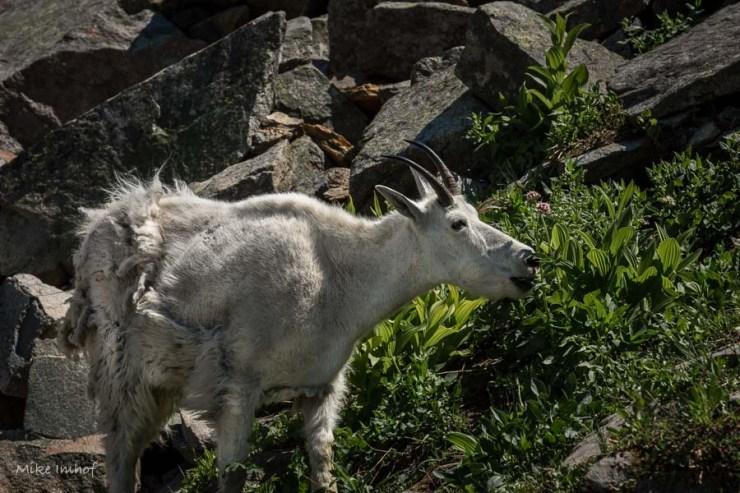 Mountian Goat