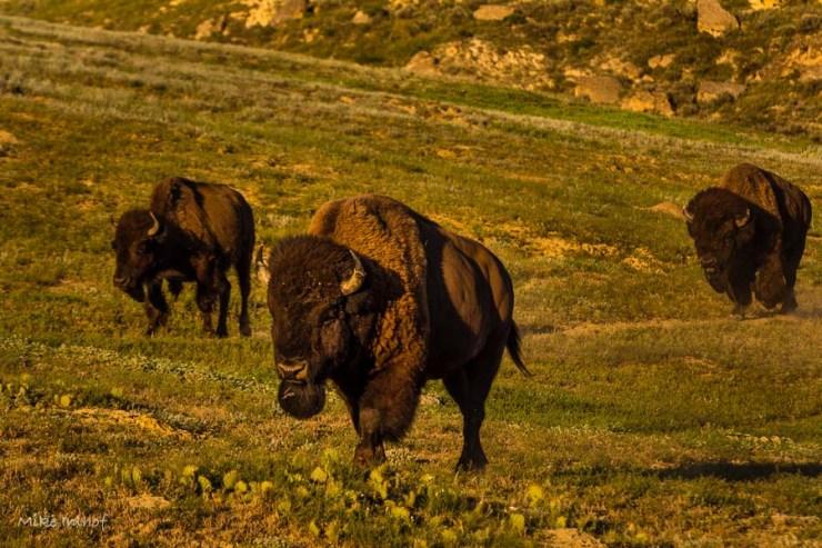 Roosevelt Buffalo