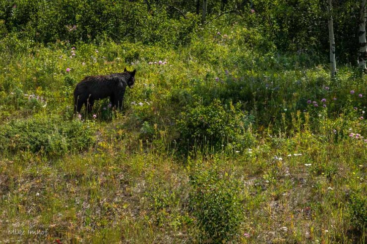 Waterton black bear