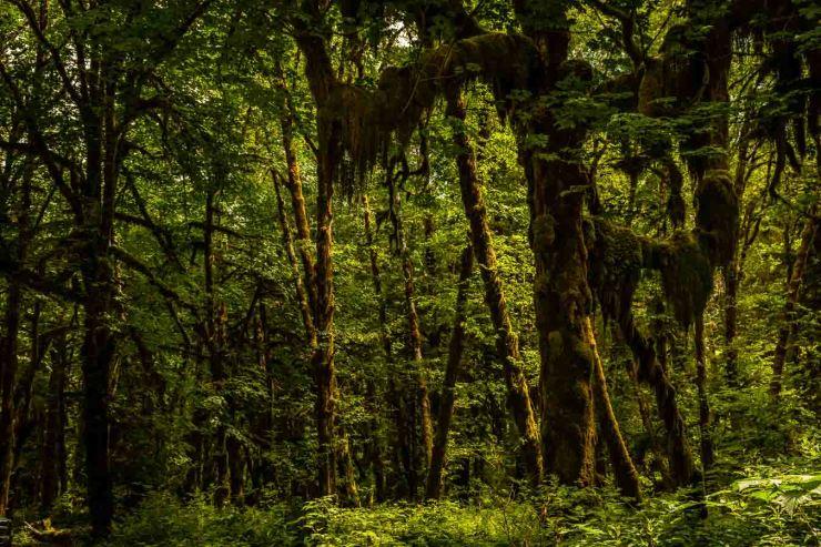 Mossey Tree